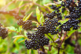 Elderberry compounds could help minimize flu symptoms, study suggests
